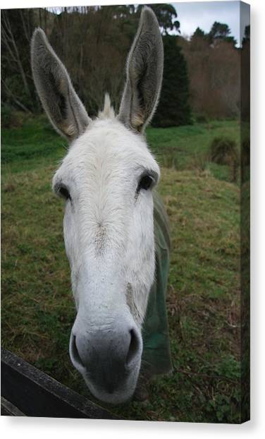 Canvas Print featuring the photograph Donkey by Jocelyn Friis