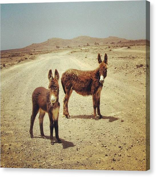 Donkeys Canvas Print - Donkeys, Boa Vista, Cape Verde by Andrea Del Ponte