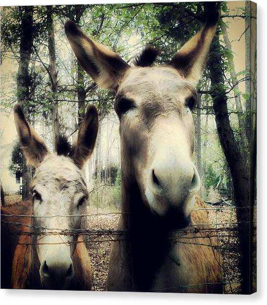 Donkeys Canvas Print - #donkeys #instagram #igs #instacanvas by Andi Lockett-johnson