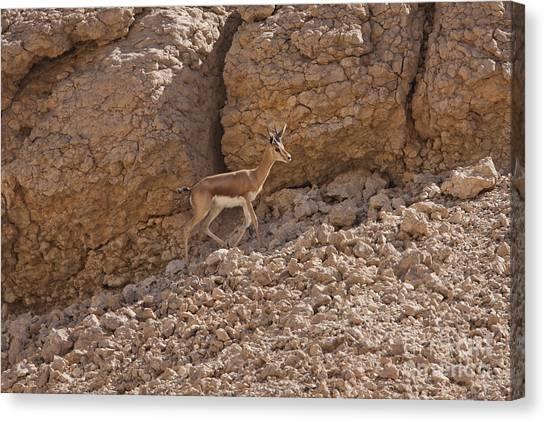 Negev Desert Canvas Print - Dorcas Gazelle Gazella Dorcas 2 by Eyal Bartov