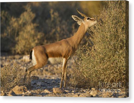 Negev Desert Canvas Print - Dorcas Gazelle Gazella Dorcas 3 by Eyal Bartov