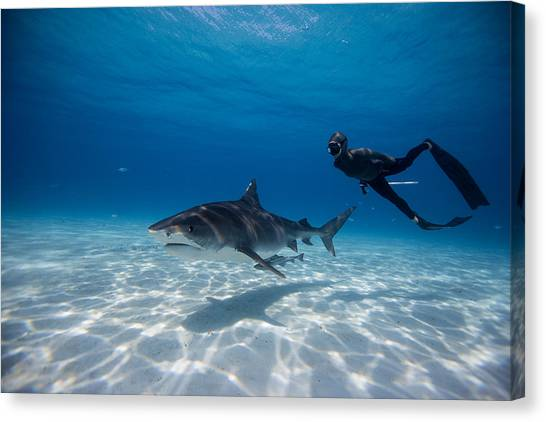 Tiger Sharks Canvas Print - Dos Amigas by One ocean One breath