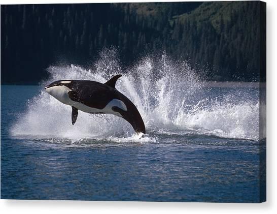 Orcas Canvas Print - Double Breaching Orcas Bainbridge by Calvin Hall