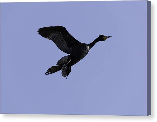 Double-crested Cormorant Coming In. Canvas Print
