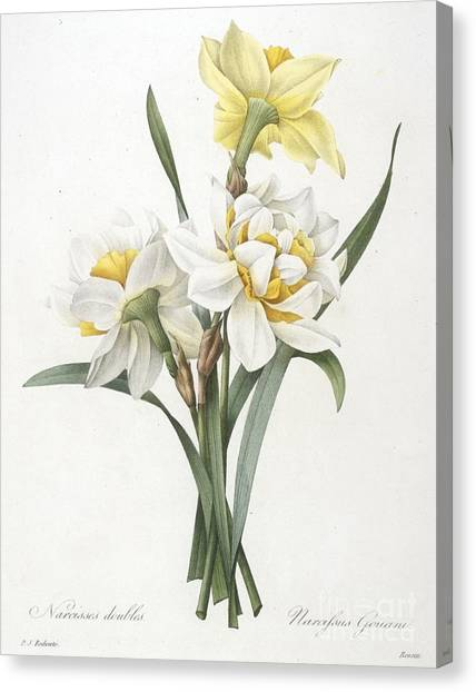 Daffodils Canvas Print - Double Daffodil by Pierre Joseph Redoute
