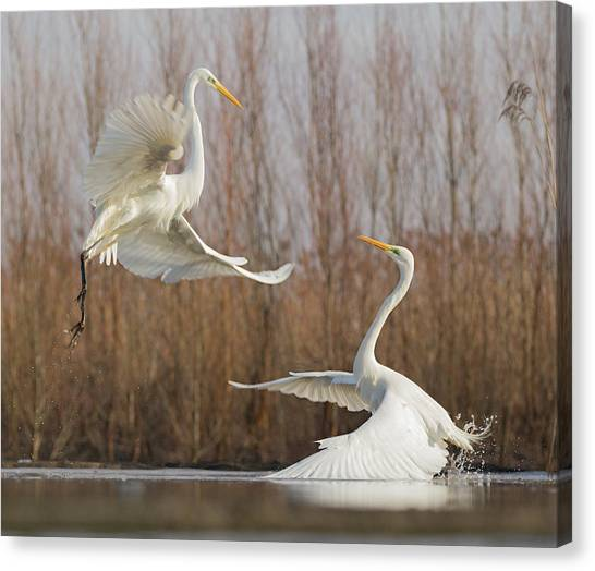 Egrets Canvas Print - Double Dance - 2 by Cheng Chang