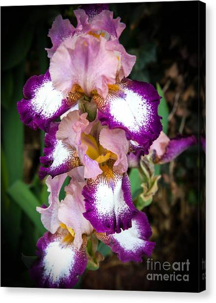 Double Iris Canvas Print by Sue Huffer