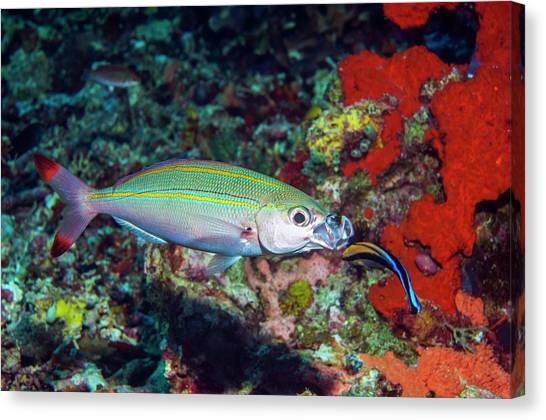 Double-lined Fusilier With Cleaner Wrasse Canvas Print by Georgette Douwma/science Photo Library