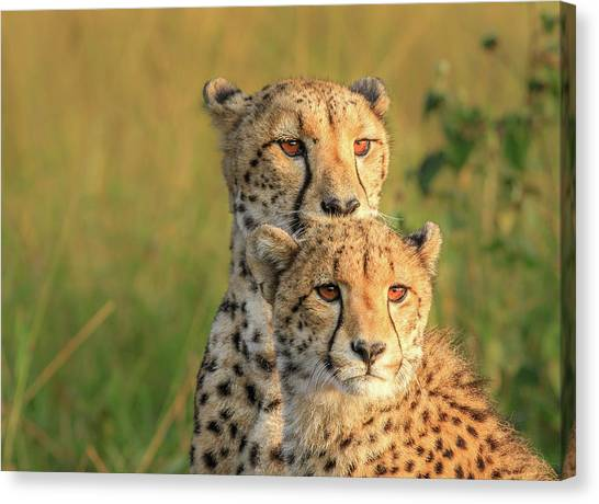 Cheetahs Canvas Print - Double Team by Jaco Marx