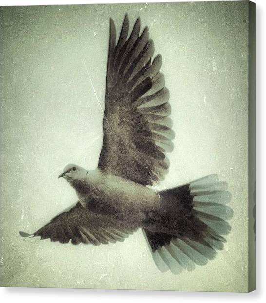 Dove Canvas Print - #dove #flight #laramie #nature by Dan Fitzgerald