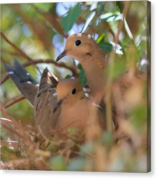 Lovebirds Canvas Print - #doves #lovebirds #lovedoves by Rainey Shafer