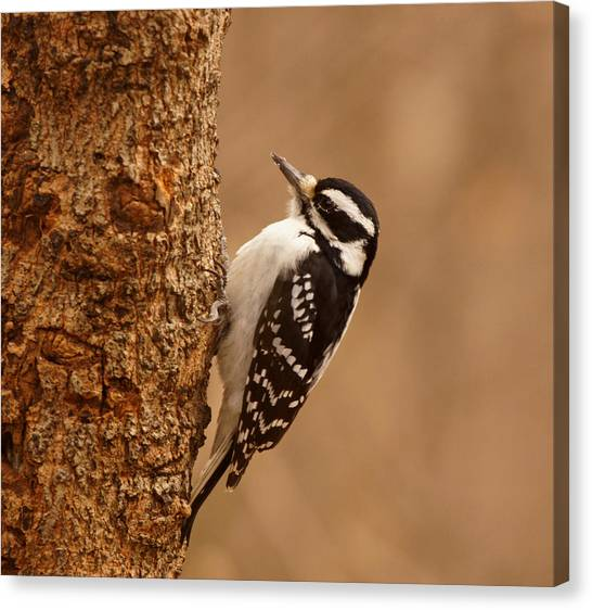 Evansville Canvas Print - Downy Woodpecker by Sandy Keeton