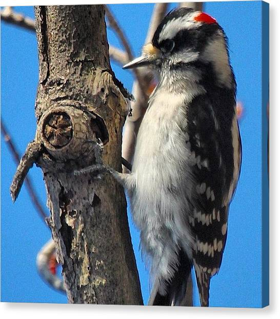 Woodpeckers Canvas Print - Downy Woodpecker #woodpecker by Lisa Thomas