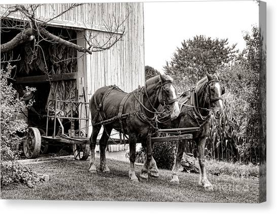 Draft Horses Canvas Print - Draft Horses At Work by Olivier Le Queinec