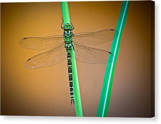 dragonfly Aeshna cyanea Canvas Print