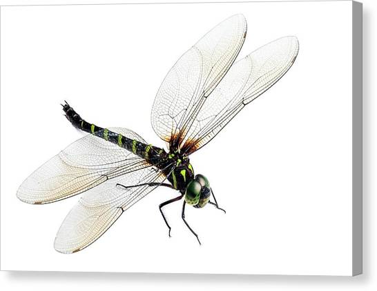 Tropical Rainforests Canvas Print - Dragonfly by Alex Hyde