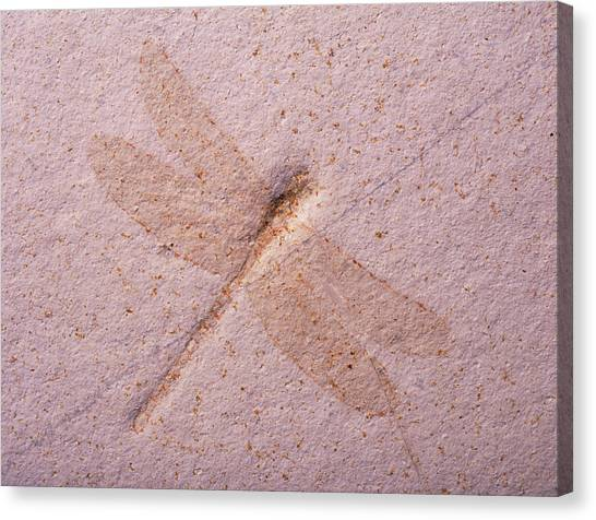 Dragonfly Fossil Canvas Print by Martin Land/science Photo Library