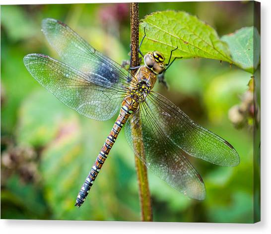 Canvas Print featuring the photograph Dragonfly. by Gary Gillette