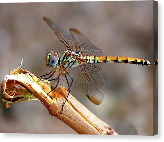 Dragonfly Canvas Print by Graham Taylor