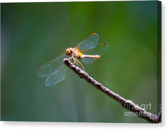 Dragonfly In The Sun Canvas Print