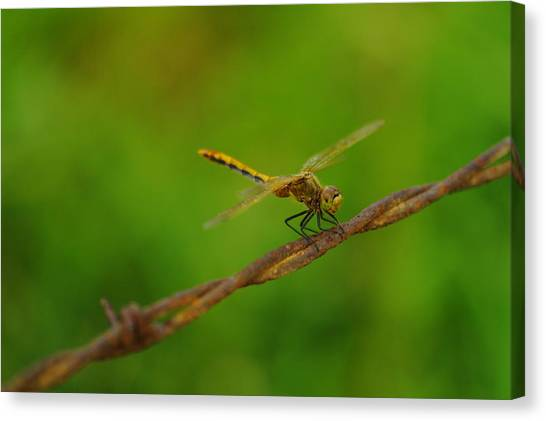 Little Things Canvas Print - Dragonfly On Barbed Wire by Jeff Swan
