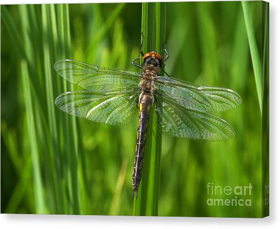 Dragonfly On Grass Canvas Print