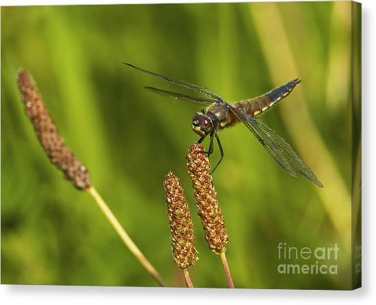 Dragonfly On Seed Pod 2 Canvas Print by Sharon Talson