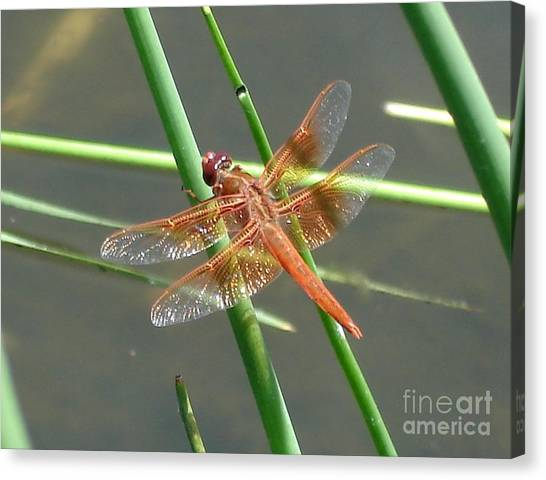 Dragonfly Orange Canvas Print