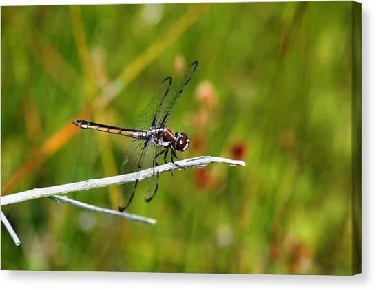 Dragonfly Perch Canvas Print