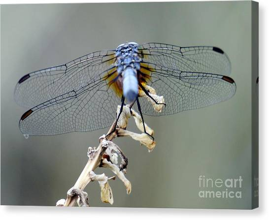 Dragonfly Wing Details II Canvas Print