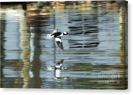Drake Bufflehead Canvas Print
