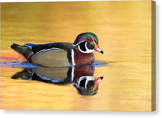 Drake Wood Duck Canvas Print by Joshua Clark