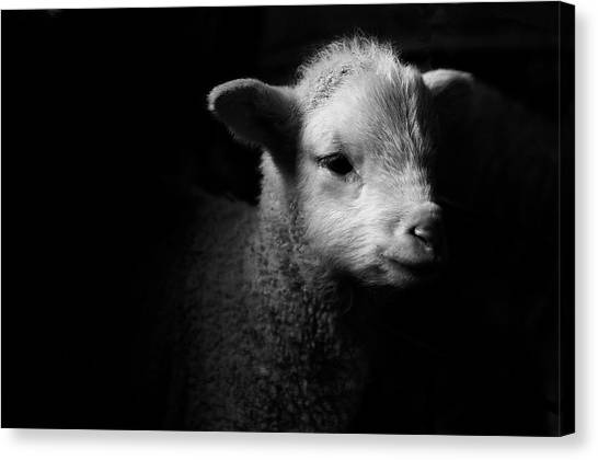 Dramatic Lamb Black & White Canvas Print