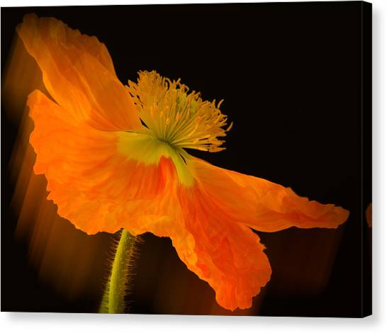 Dramatic Orange Poppy Canvas Print