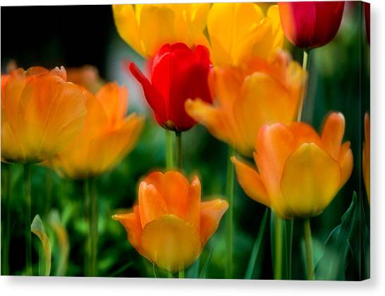 Dream Tulips Canvas Print
