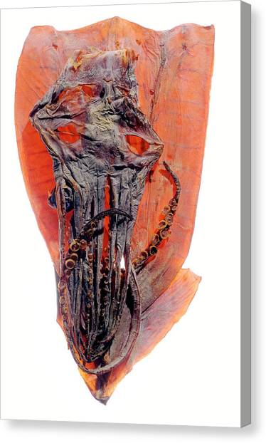 Squids Canvas Print - Dried Squid by Daniel Sambraus/science Photo Library