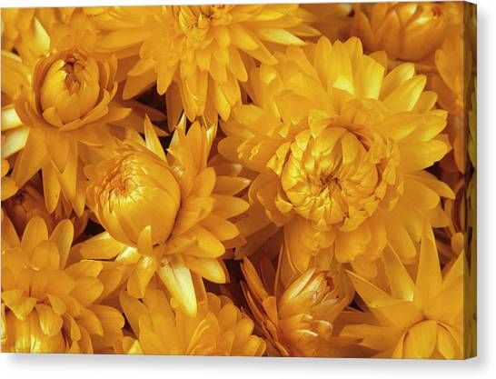 Dried Straw Flowers (helichrysum Sp.) Canvas Print by Ann Pickford/science Photo Library