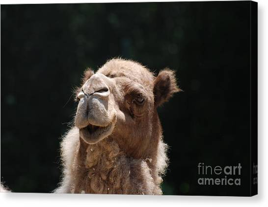 Dromedary Camel Face Canvas Print
