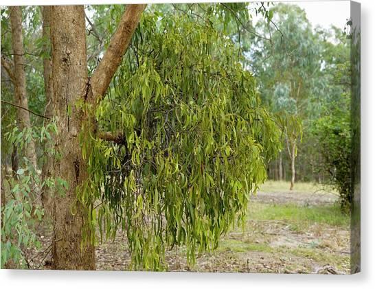 Mistletoe Canvas Print - Drooping Mistletoe (amyema Pendula) by Dr Jeremy Burgess/science Photo Library