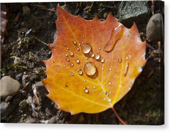 Droplets In Autumn Leaf Canvas Print