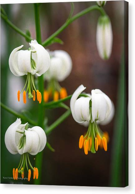 Drops Of Spring Canvas Print by Ross Henton