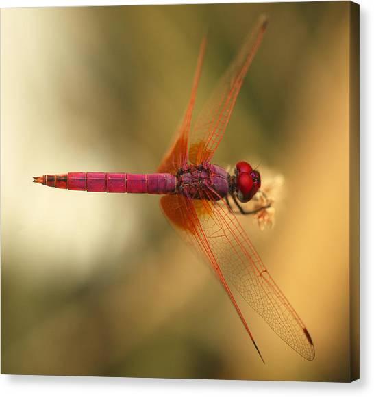 Dropwing Dragonfly Canvas Print
