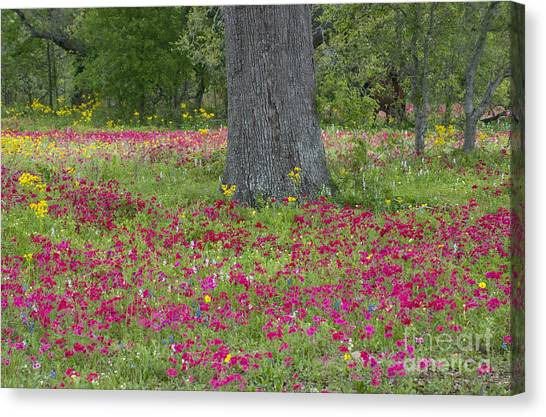 Drummonds Phlox And Crown Tickweed Central Texas Canvas Print