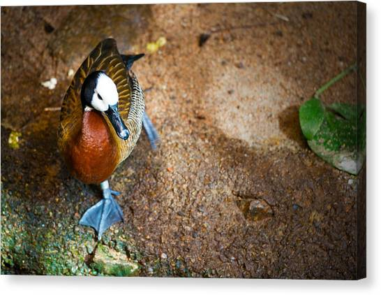 Duck Duck Duck Canvas Print by Andy Fung