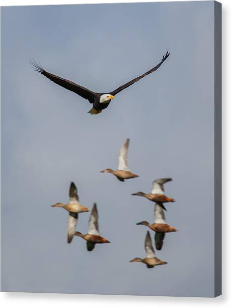 Eagle In Flight Canvas Print - Duck Hunt by Angie Vogel
