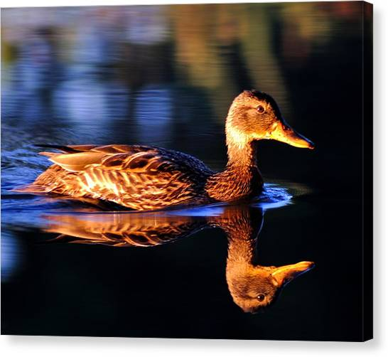 Duck On A River With Refletion Canvas Print