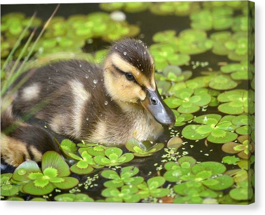 Duck Soup 3 Canvas Print