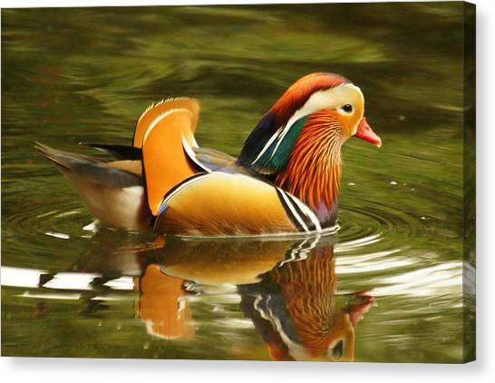 Duck Wild - Mandarin Canvas Print by DerekTXFactor Creative