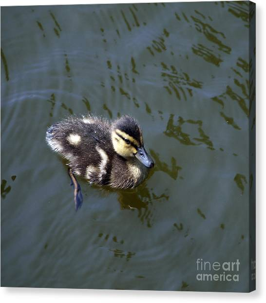 Duckling Exploration Canvas Print