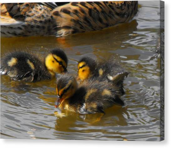 Duckling Splash Canvas Print
